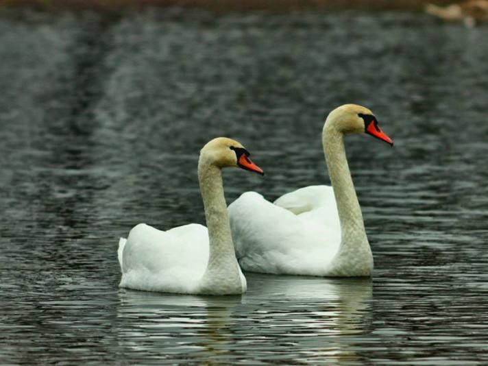 Лебеді