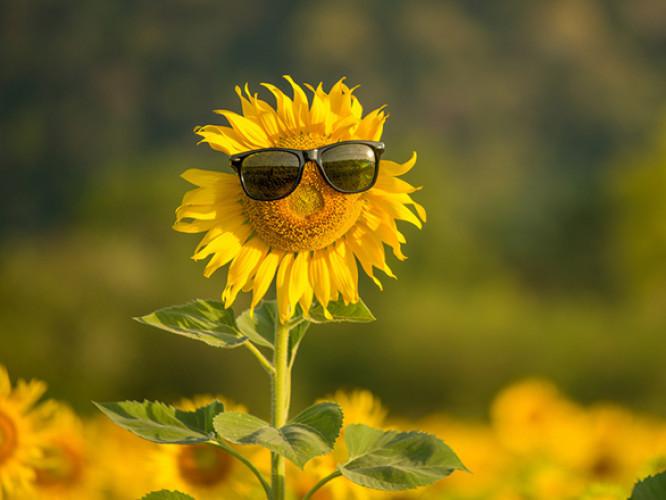 Соняшник в окулярах/Фото ілюстративне