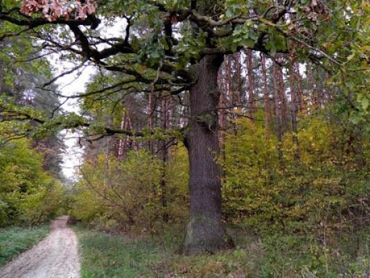 Ліс у Горинському лісництві