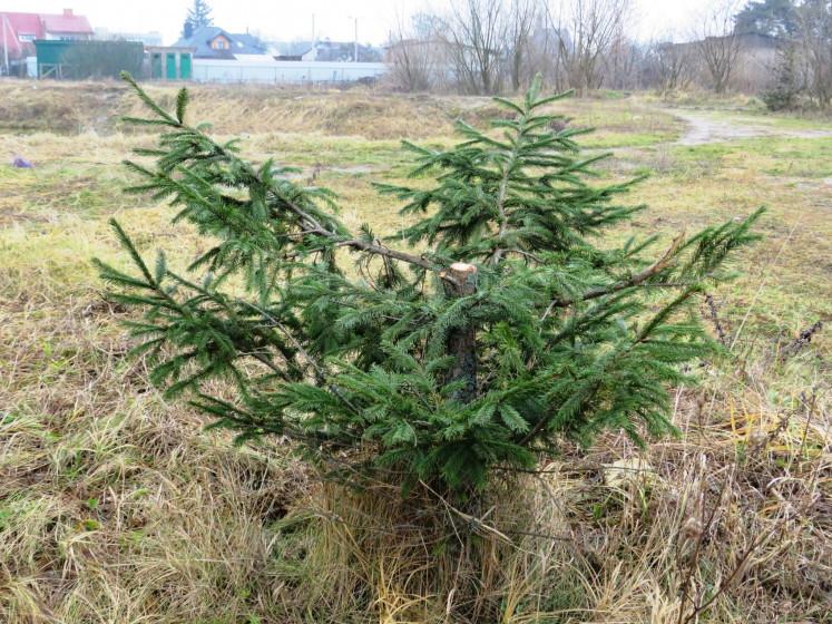 Зрубане дерево