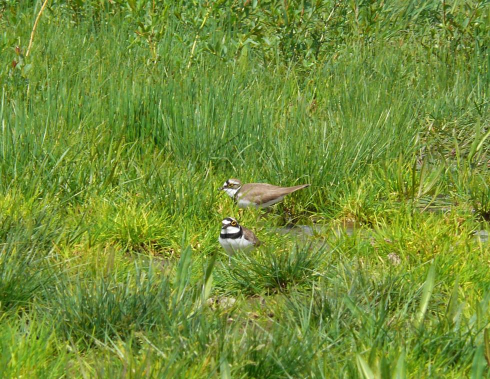 В кінці червня-липні з'являються пташенята