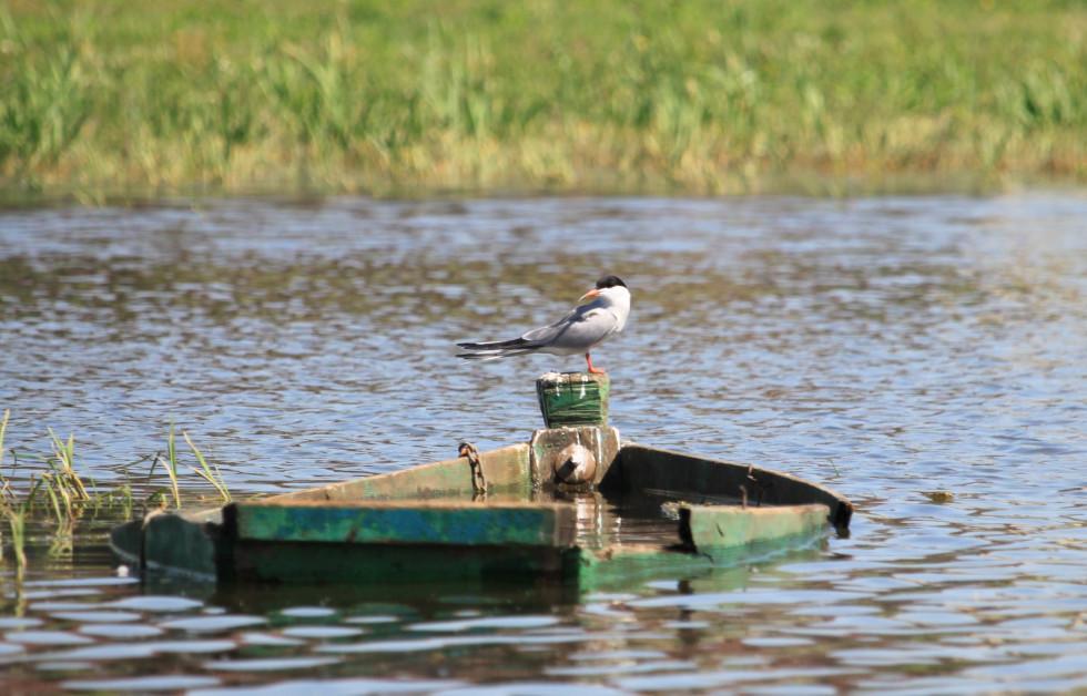 Мешкаєбіля річок, озер, на морських берегах, віддаючи перевагу піщаним і солончаковим берегам