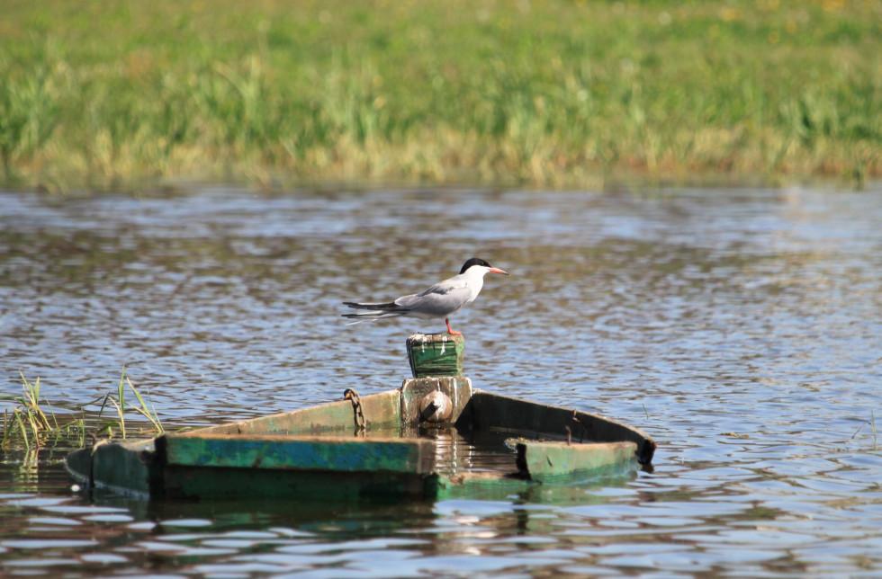 Річковий крячок здобуває їжу майже виключно з води
