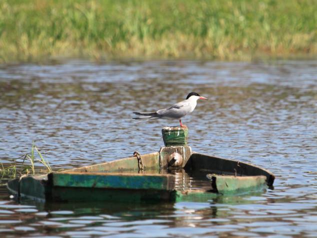 Крячок річковий / Common tern