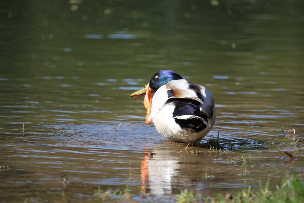 З ранку до вечора качки присвячують свій час пошукам поживи, а їх багатий раціон залежить від пори року