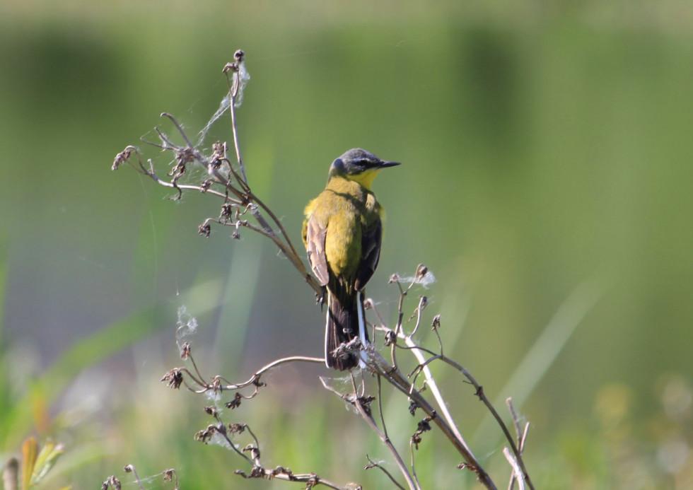 Плиска жовта, маленький «жовток, який дуже часто зутрічається біля озер та річок