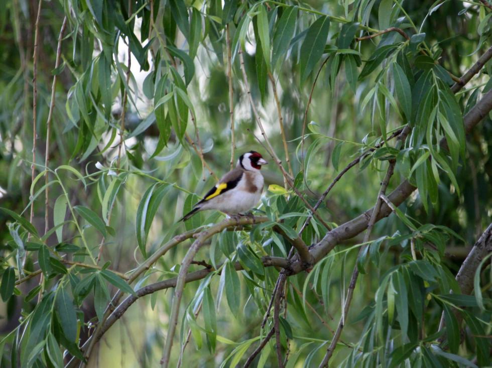 Щиглик, різнобарвний птах, що полюбляє харчуватись насінням бур'янів