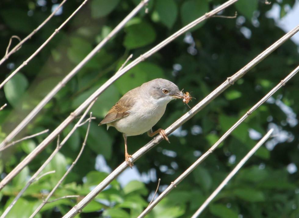Кропив'янка сіра зі здобиччю, дуже рухлива пташка хоча підпустила доволі близько