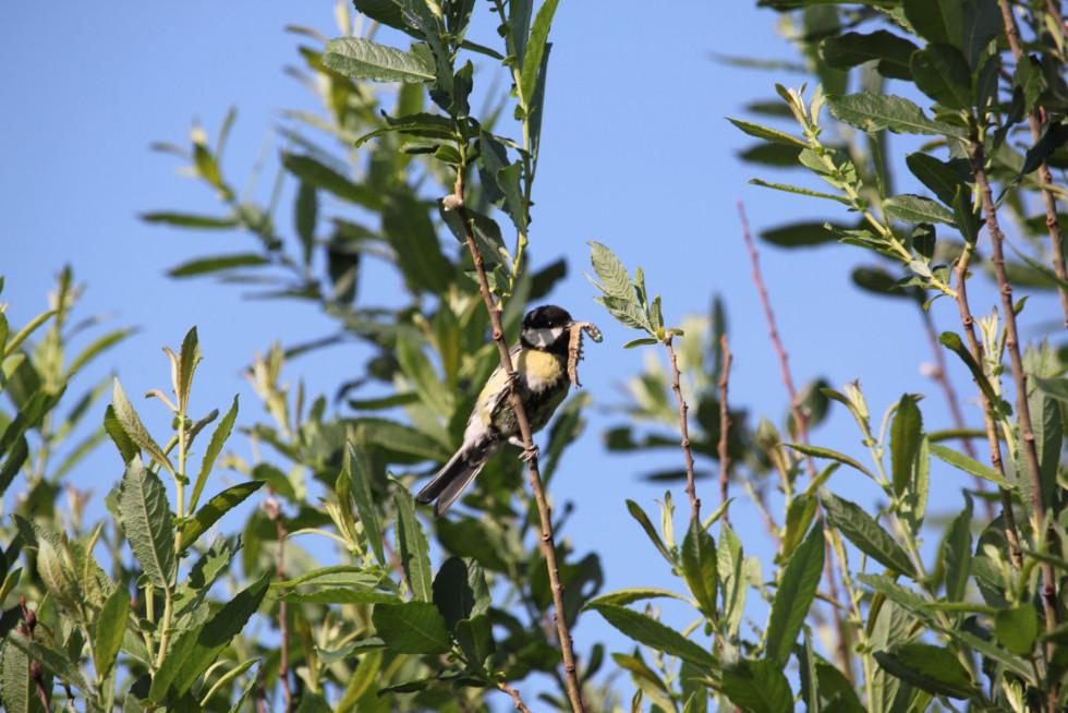 Доросле пташеня синиці великої, яке вже самостійно літає і харчується