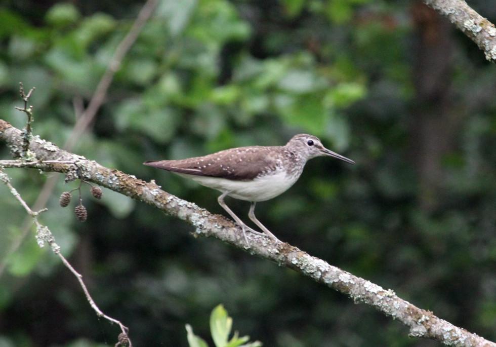 Тримається поблизу прісних водойм.Птах активний у сутінковий час. Часто сідає на гілки дерев. Для нього характерне постійне хитання хвостом.