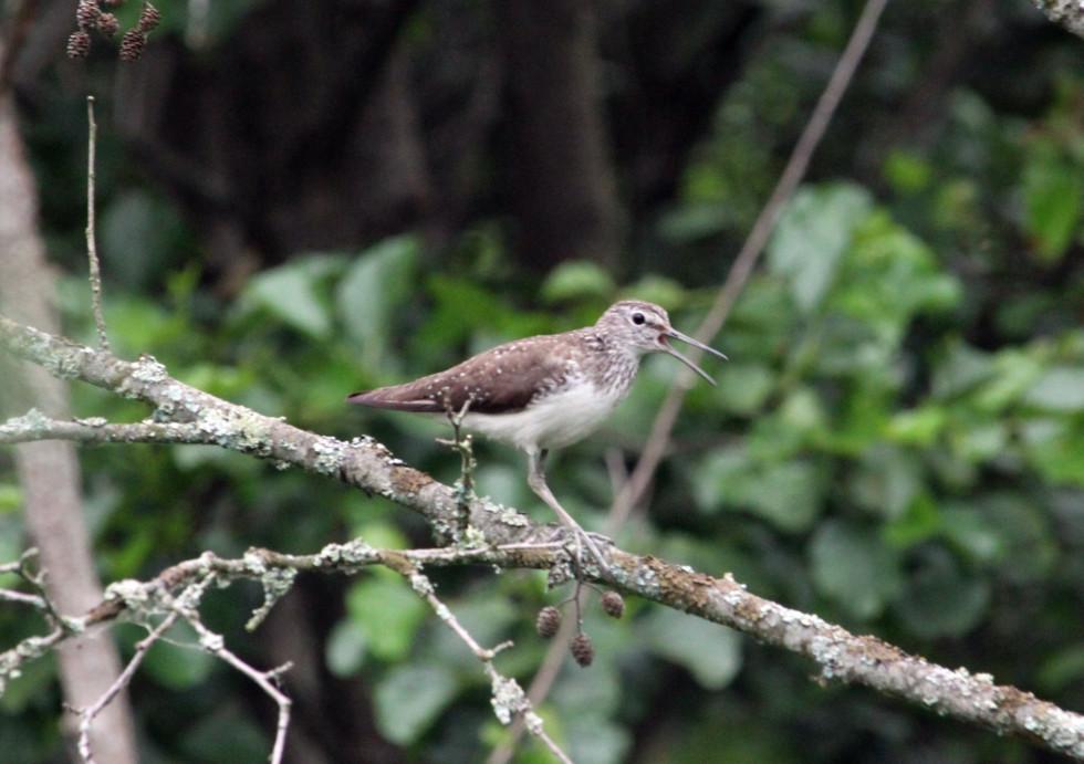 Чисельності птахів може загрожувати лісовий дренаж та ліквідація дрібних боліт.