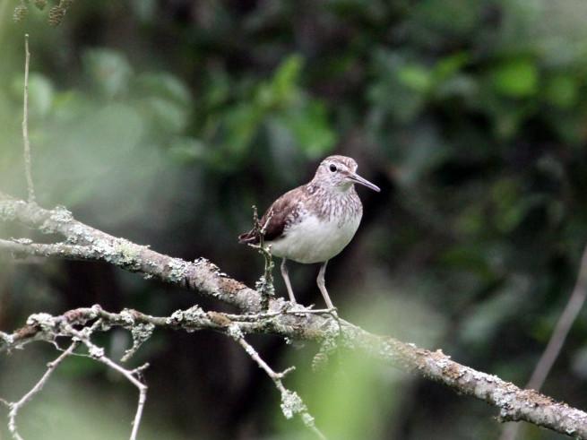 Коловодник лісовий / (Tringa ochropus, англ. Green Sandpiper, рос. Черныш)