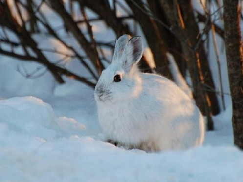 В лісах Волині розпочався зимовий облік диких тварин