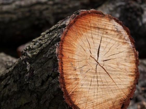 У Цуманському лісгоспі зловмисники незаконно зрубали дерева / Фото ілюстративне