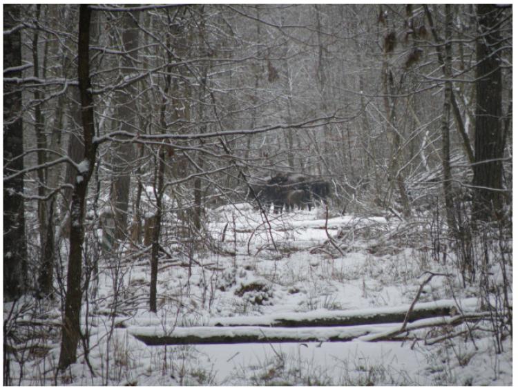 На Ківерцівщині провели зимовий облік червонокнижних видів тварин