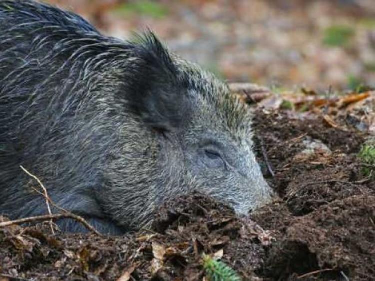 На Ківерцівщині знайшли тіло кабана, який заражений африканською чумою / Фото ілюстративне