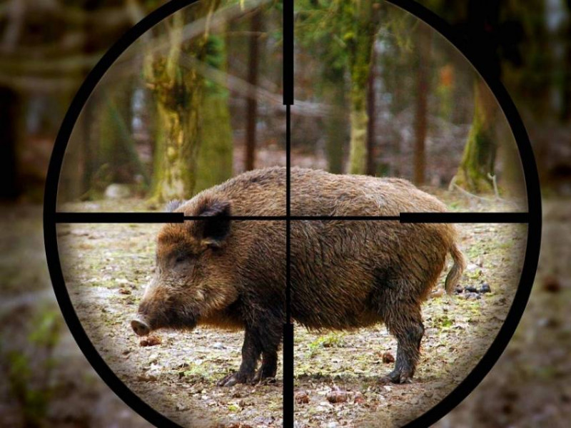 Як на Ківерцівщині будуть проводити відстріл дикого кабана / Фото ілюстративне