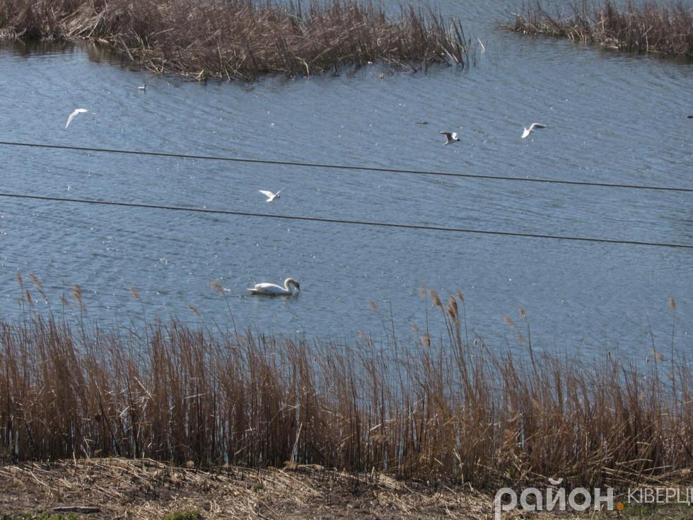 Річку біля Олицького замку вподобало чимало чайок і лебедів